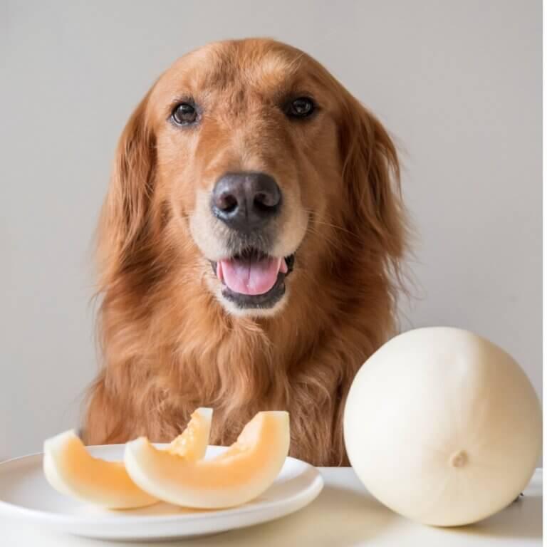 Os cães podem comer melão?