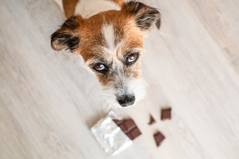 As 10 intoxicações mais comuns em cães