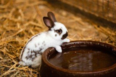 Os coelhos bebem água?