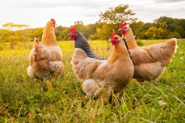 Como cuidar de galinhas?