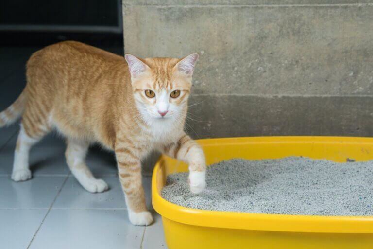 Por que meu gato come areia?
