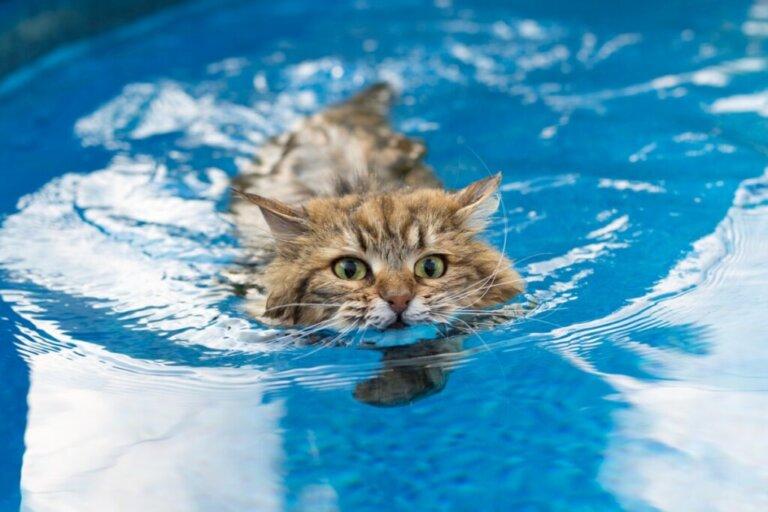 6 raças de gatos que gostam de água