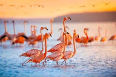 Por que os flamingos são rosa?