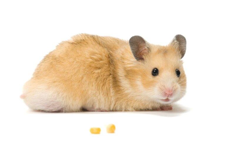 Como cuidar de uma hamster grávida?