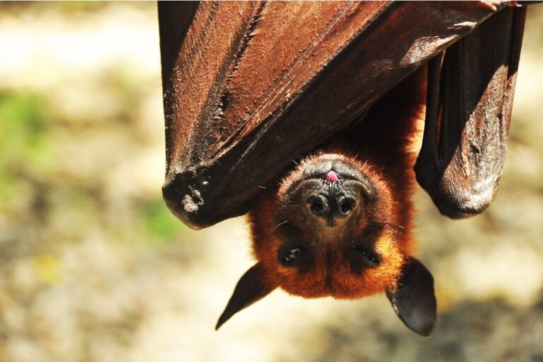 O morcego Acerodon jubatus: habitat e características
