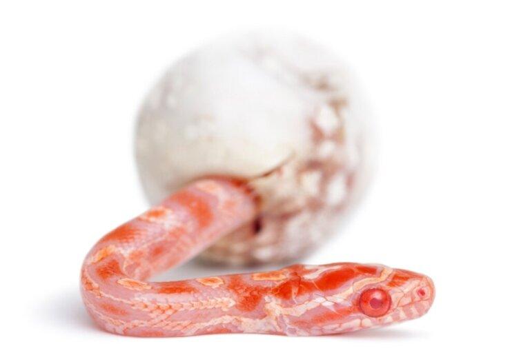 Como as cobras nascem?