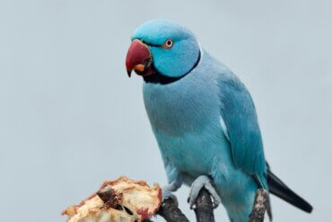 Os papagaios podem comer carne?