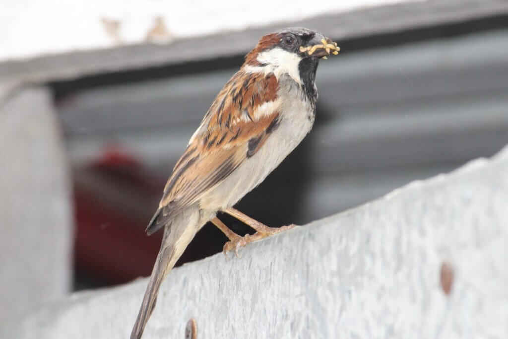 Os pássaros podem comer arroz?