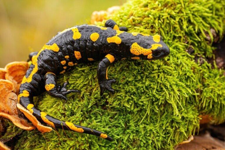 As salamandras são venenosas?