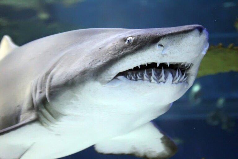 Quantos dentes os tubarões têm?