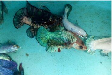 Verme Lernea em peixes: sintomas e tratamento
